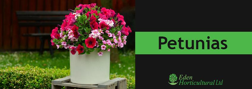 Petunias Plant
