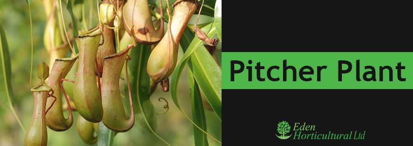Pitcher-Plant