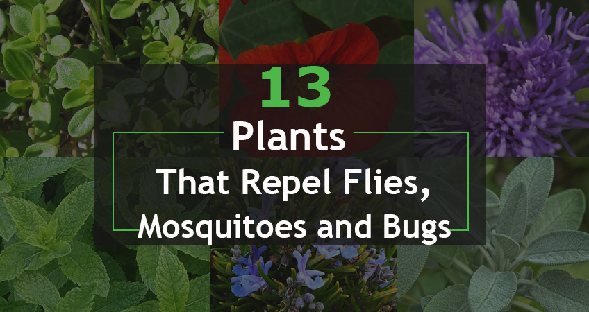 Plants That Repel Flies, Mosquitoes and Bugs