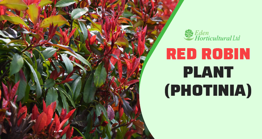 How To Grow A Red Robin Plant (Photinia)