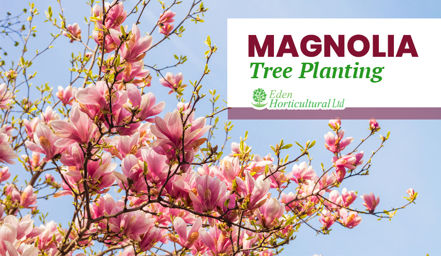 Magnolia Tree Planting, Types & Taking Care