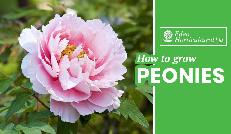 How to Grow Peonies