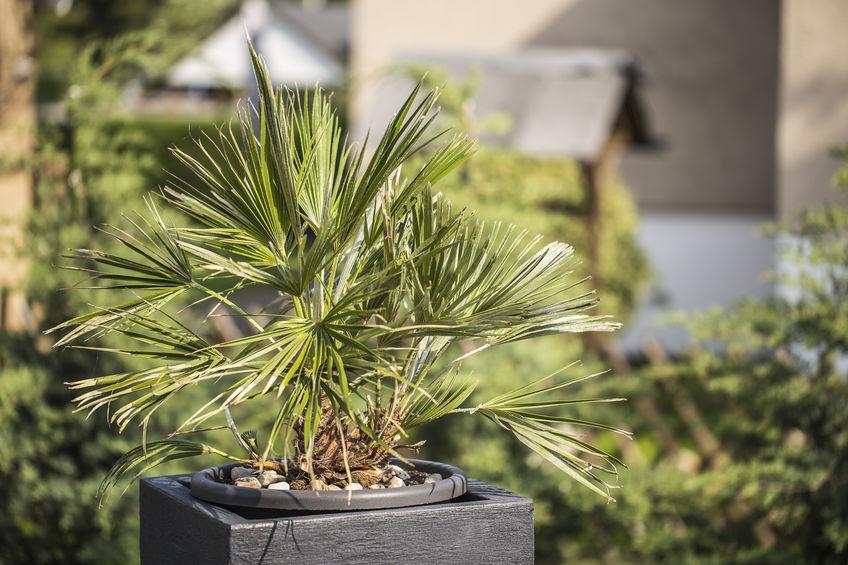 Trachycarpus Palm Tree