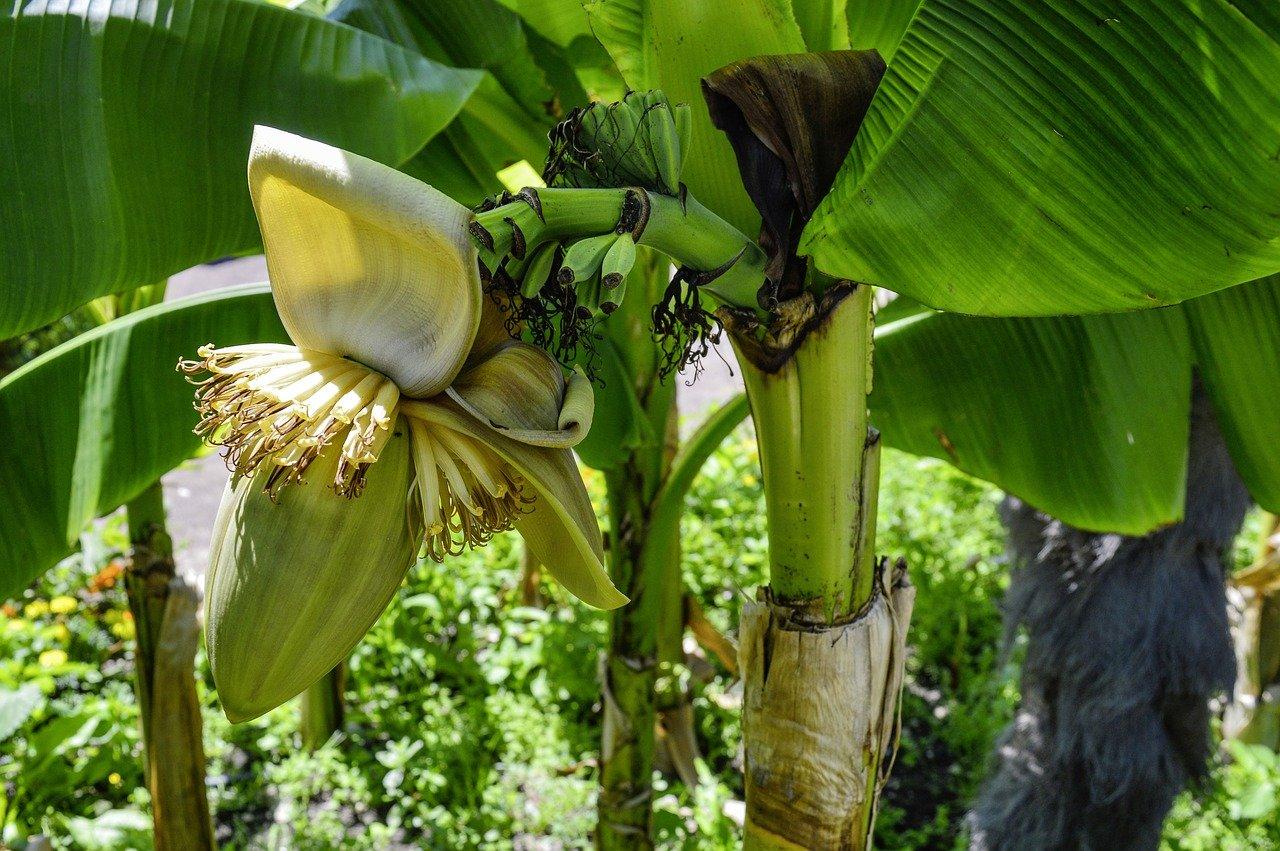Musa Basjoo Japanese Banana Plant