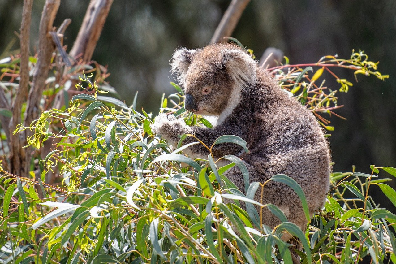 Long Leaved Eucalyptus
