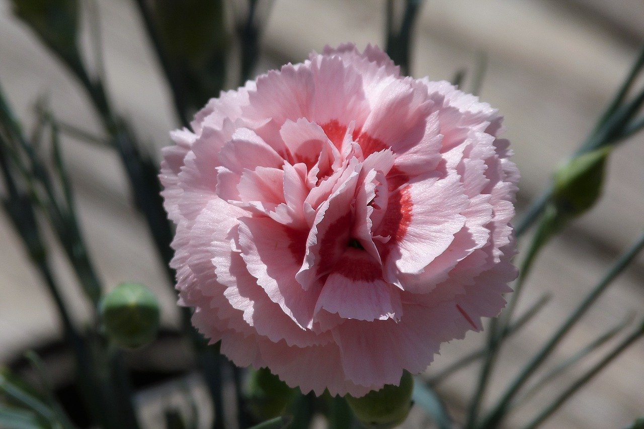 Dianthus 'Pop Star'