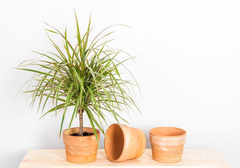 Dracaena Marginata How to grow