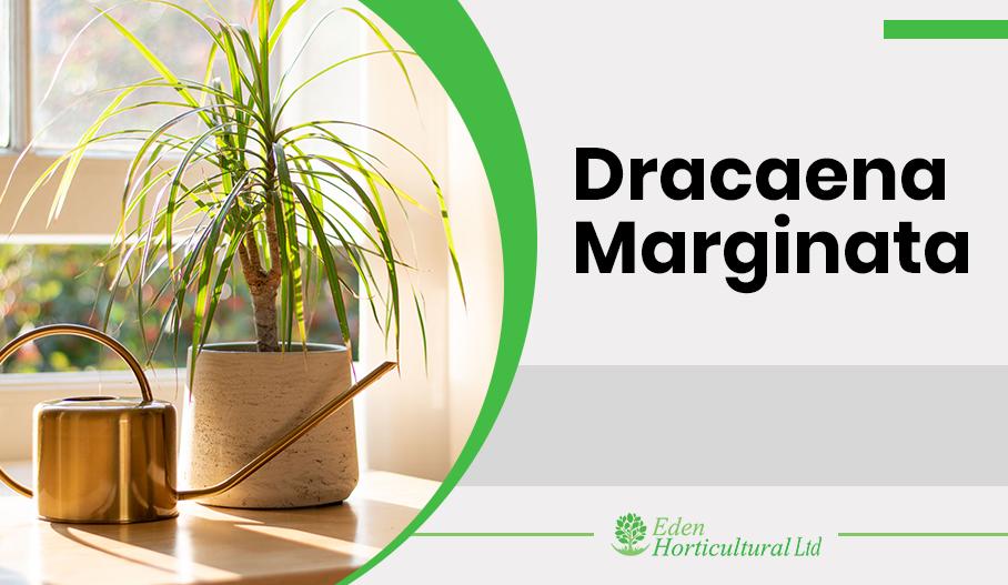 How to Grow and Care Dracaena Marginata