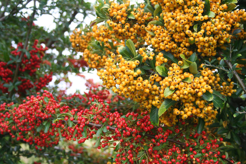 Pyracantha in red and yellow colour