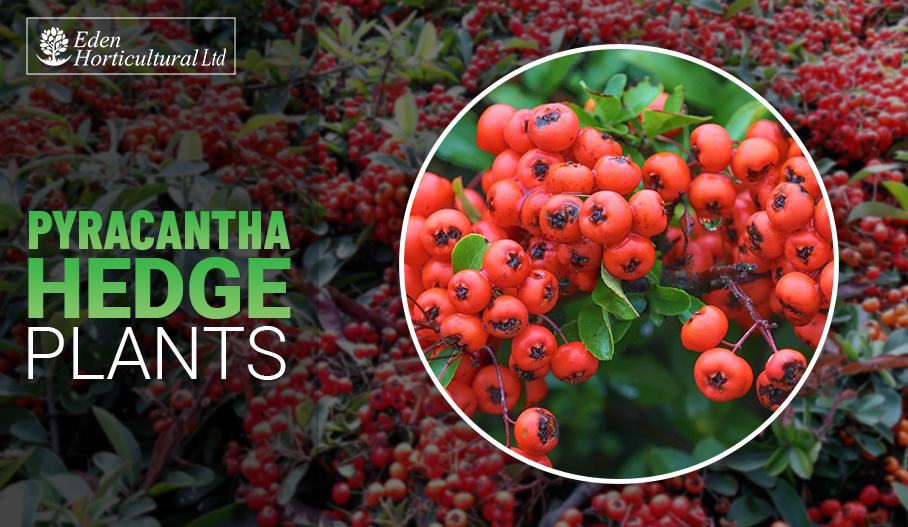 Ultimate Guide to Pyracantha Hedge Plants